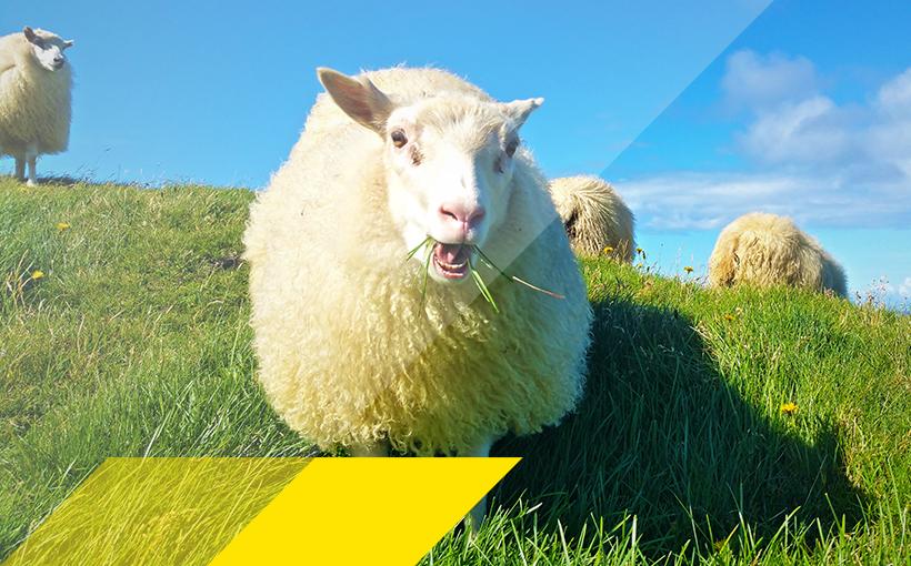Grasende Schafe auf einer Wiese