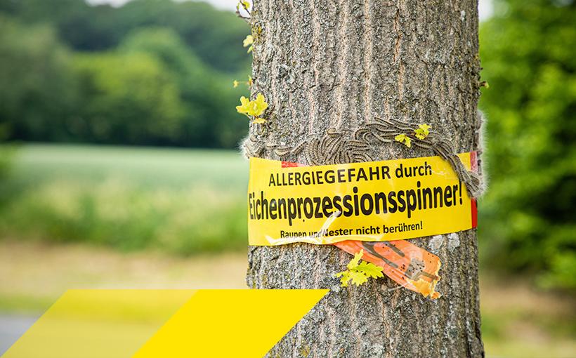 Bild mit Warnungs vor Eichenprozessionsspinner